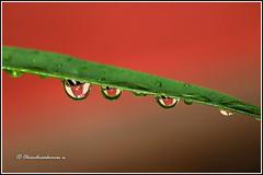7320 - rain drops (chandrasekaran a 44 lakhs views Thanks to all) Tags: rain monsoon nature india chennai canoneos760d tamron90mm drops