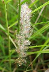 Hundreds of tiny raindrops - Poaceae inflorescence (Monceau) Tags: poaceae raindrops grass jardindesplantes bokeh macro bristling inflorescence