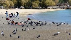 sunbathing is for the birds IMG_2573 (mygreecetravelblog) Tags: greece athens beach sand pigeons birds sunbathing alimosbeach people water