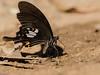 Red Helen butterfly (khrawbor.shylla) Tags: butterfly nature macro meghalayabutterflies meghalaya redhelen insect tamron90mm28