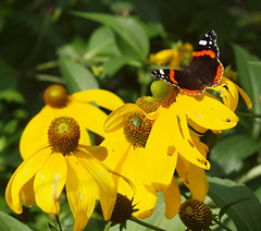 2017_09_2026 (petermit2) Tags: redadmiralbutterfly redadmiral butterfly brodsworthhall brodsworth doncaster southyorkshire yorkshire englishheritage garden gardens heritage heritagegarden