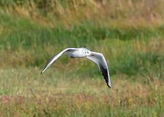 Black-headed Gull (Winter plumage) (gillybooze (David)) Tags: ©allrightsreserved bird grass bokeh gull dof outdoor bif wild