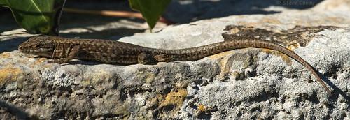 Common Wall Lizard (Podarcis muralis) adult.