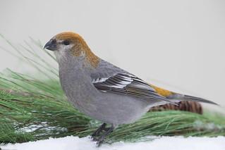Pine Grobeal Female