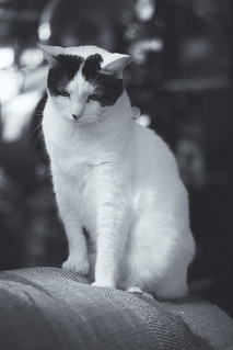 Black and white and sitting up -[ Happy Caturday ]-