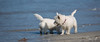 2017 - 11_25 - Wide - Animals - Dogs - Sushi_Angus 02.jpg (stevenlazar) Tags: largs beachwater sand northhaven puppy 2017 ocean australia dog water animals adelaide white southaustralia scottishterrier