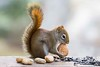 Yay..Christmas nuts are here! (Nancy Rose) Tags: squirrel walnut nuts