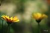 ames soeurs la rencontre (FLOCVROFF) Tags: flowers yellow calendula bokeh été nature 250mm