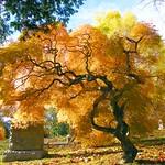 Golden Tree thumbnail