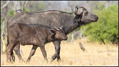 African Savannah Buffalo (John R Chandler) Tags: africansavannahbuffalo animal buffalo calf capebuffalo female hwangenationalpark mammal matabelelandnorthprovince synceruscaffer zimbabwe zw