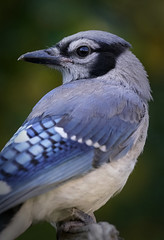 _A994032 (mbisgrove) Tags: jay bluejay bisgrove bird a99ii a99m2 blue canada ontario sony sal70400g2 wings feathers sharp portrait