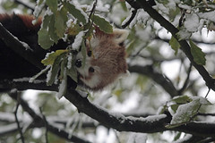 Good morning !!!!!!! (K.Verhulst) Tags: panda rodepanda redpanda beren bears bear beer blijdorp diergaardeblijdorp rotterdam coth5 ngc