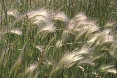 Weeds26.tif (NRCS Montana) Tags: weeds grasses foxtailbarley