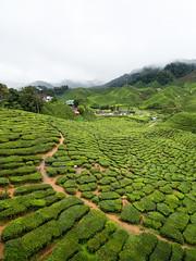 A field of tea (jenkwang) Tags: pentax q7 08 wide landscape cameron highlands tea plantation