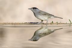_SEN1930-E3 (Sento74) Tags: currucacapirotada sylviaatricapilla aves birds reflejos fauna nikond500 tamron150600