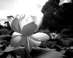 Black and white lotus (Carandoom) Tags: 2017 suisse switzerland plante plant fleur flower noir et blanc black white selective color couleur une lotus park parc