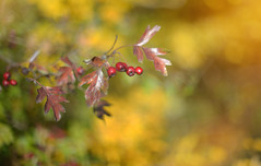 Autumn Delight.. (KissThePixel) Tags: autumn autumncolours autumnlight autumnmeadow tree berry berries redberry redberries bokeh bokelicious goldbokeh gold golden leaves leaf fall november light macro nikon nikondf 50mm nikkor nikkor12 f12 aperture