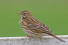 Meadow Pipit (drbut) Tags: meadowpipit anthuspratensis motacillidae bird birds nature wildlife ridgeway wiltshire canonef500f4lisusm