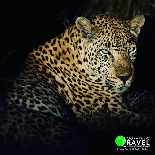 Leopard - Sabi Sabi 2012