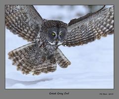 Great Gray Owl - (Jan 2013) (Malcolm Benn) Tags: 2013 ontario ottawa canada canon 1dmiv 300mm winter owl greatgrayowl snow mgbenn malcolmbenn