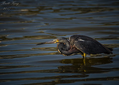 Tri-Colored Heron - late in the day (dbking2162) Tags: birds bird heron egrets wildlife water nature nationalgeographic fortmyersbeach florida animal wading hunting