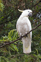 Sulphur-Crested Cockatoo (brentflynn76) Tags: bird animal cockatoo parrot nature native australia avian feathers