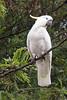 Sulphur-Crested Cockatoo (brentflynn76) Tags: bird animal cockatoo parrot nature native australia avian feathers