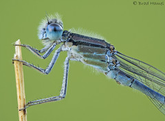 "A damsel fly. • <a style=""font-size:0.8em;"" href=""http://www.flickr.com/photos/13050582@N04/37794887354/"" target=""_blank"">View on Flickr</a>"