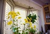 Mums on a sunny window! (ineedathis, Everyday I get up, it's a great day!) Tags: chrysanthemum mums flowers orchids succulents christmascactus nature lace baywindow leadedglass pots wine vase kitchen autumn nikon d750 yellow green bokeh