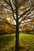 Autumn Glow (Rich Lukey) Tags: tree woods woodland autumn fall yellow leaves surrey nikon d7100 1685mm umn glow