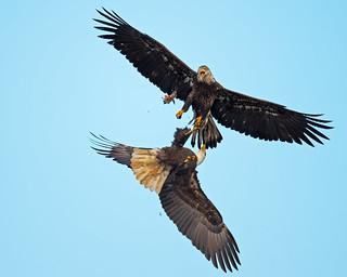 Bald Eagle Mugging