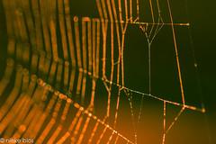 Spiderweb-4 (niekeblos) Tags: spiderweb web nature macro bokeh canon6d