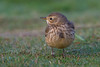 American Pipit (Eric Gofreed) Tags: americanpipit california crownpoint pipit sandiego