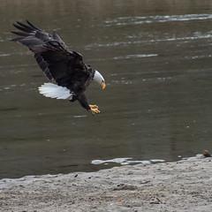 Incoming! (nickinthegarden) Tags: americanbaldeagle nicomenslough fraservalley bc canada eagle baldeagle