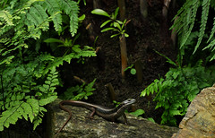 Water skink (Eulamprus quoyii) (phl_with_a_camera1) Tags: water skink eulamprus quoyii herp herping reptile animal wildlife nature lizard