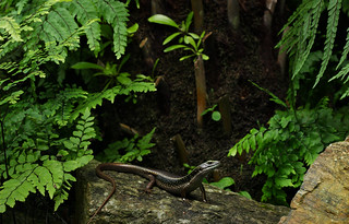 Water skink (Eulamprus quoyii)
