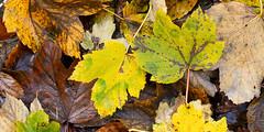 17112017_zechb_0006_mL (speschlphotography_art) Tags: bodenverschönerung laub herbstlaub blätter leaves fall outum natur nature macro bunt colorfull farbenfroh leuchtend strahlend 2017 301217a