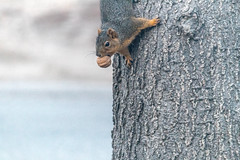 I Have An Awesome Treat (Tammy Strot) Tags: squirrel walnut treat animal tree nature outdoor outside bokeh canon canonusa