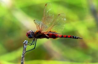 Red Marsh Trotter - Male - in my backyard