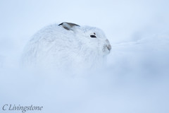 Mountain Hare, full frame. (cameron85) Tags: mountain hare brown blue scotland scottish highlands cairngorms national park wildlife nature arctic mammal canon 7d mark ii sigma 150 600 contemporary glenshee
