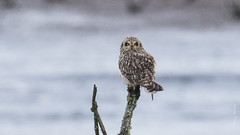 Short-eared Owl (Asio flammeus) (Tony Varela Photography) Tags: asioflammeus owl photographertonyvarela seow shortearedowl