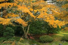 japanese maple (annapolis_rose) Tags: autumn autumncolors autumnleaves japanesegarden japanesemaple nitobememorialgarden ubc universityofbritishcolumbia campus