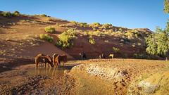Wild horses at the watering hole (gorbould) Tags: 2017 monumentvalley navajotribalpark s6 usa utah america arizona horses phonepic samsung southwest wild wildhorses kayenta unitedstates us