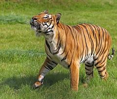 "Tiger (grab a shot) Tags: canon eos ""eos 7d mark ii"" uk england cambridgeshire 2017 outdoor animal hamertonzoo wild tiger"