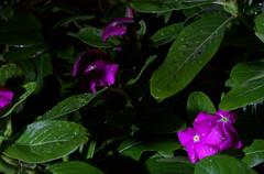 _MG_2876.CR2 (jalexartis) Tags: vinca bloom blooms flower flowers night nightphotography nightshots lighting camranger rain raincover diy