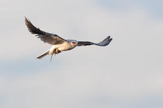Kite with Vole