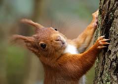 M roux (Bernardvinc) Tags: squirrel écureuil sauvage wild wildlife automne autumn free libre nikon nikkor light orange nature portrait