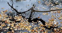 leaves and branches (thomas.erskine) Tags: 20171023172017teecroplev 2017 oct fall ottawa ontario leaves water branch shadow reflection