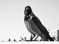 Crow (markb120) Tags: bird fowl flyer flierpen feather nib plume blade style beak bill pecker rostrum neb black grey bw paw foot claw pad grip dovetail head eye tail wing