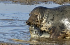 Swimming lesson (Jane Desforges) Tags: lincolnshire donna nook grey seals